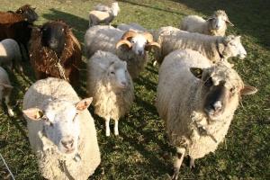 sheeps-1481827