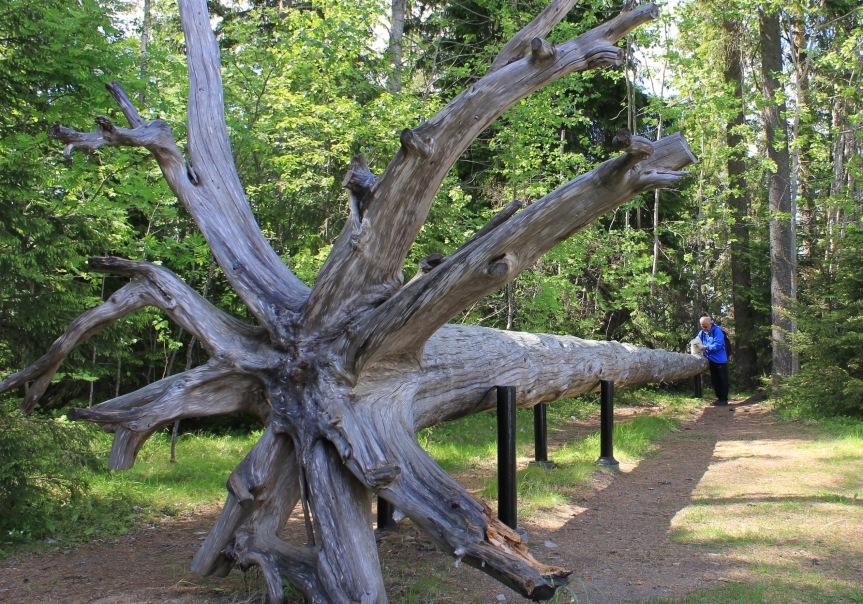 Parkkonen_Seitsemisen kansallispuiston keloaarre IMG_1353